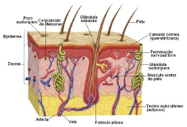 Foto mostrando A estrutura da pele e suas três camadas